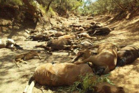 horse, dead, brumby, Australia, heat